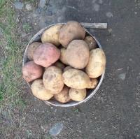 Фото Кто принимает картофель
